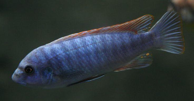 """Como criar peixes ciclídeos zebra-azul-gelo. Os peixes ciclídeos zebra-azul-gelo, também conhecidos como zebra-azul-gelo """"red top"""" e malawis-azuis, entre outras denominações, são peixes semiagressivos com barbatana dorsal vermelho-brilhante. Eles crescem até cerca de 12,5 cm de comprimento e necessitam de um tanque relativamente grande. Podem ser mantidos com outros peixes, desde que não ..."""