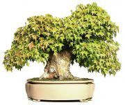 €2670,-  40 jaar oud   www.bonsai.de