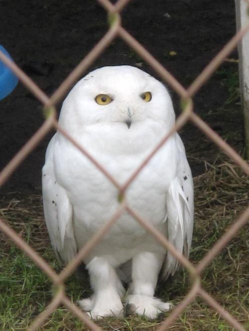 デルタにある野生動物保護センター(Orphaned Wildlife [OWL] Rehabilitation Centre)に行ってきました。<br /><br />バンクーバー市内からは車で約30分です。朝から濃霧でしたが、昼には晴れると予想して出発しました。しかし、残念ながら1日中濃霧でした。<br /><br />この野生動物保護センターでは治療中の動物は見れませんが、治療後に自然界に戻れなかった猛禽類(フクロウ、ワシ、タカ)を教育用ケージで観察することができます。なかには事故などで翼を切断したりしていて痛々しいものもいました。シロフクロウを初めて見ましたが、目をつぶると笑っているように見え、可愛かったです。<br /><br />見学できる部分は限られていますが、いろんな猛禽類が見れ、ボランティアのガイドの説明がとても良いので、行ってみる価値はあると思います。<br /><br />※…