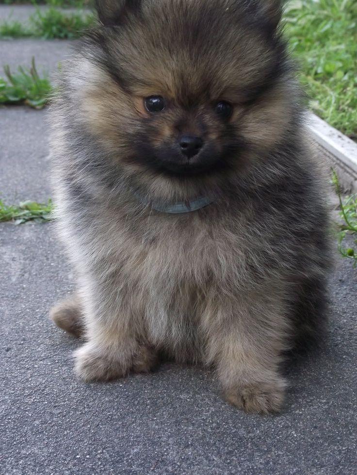 German Spitz / Kleinspitz Puppy Dog | German Spitz ...