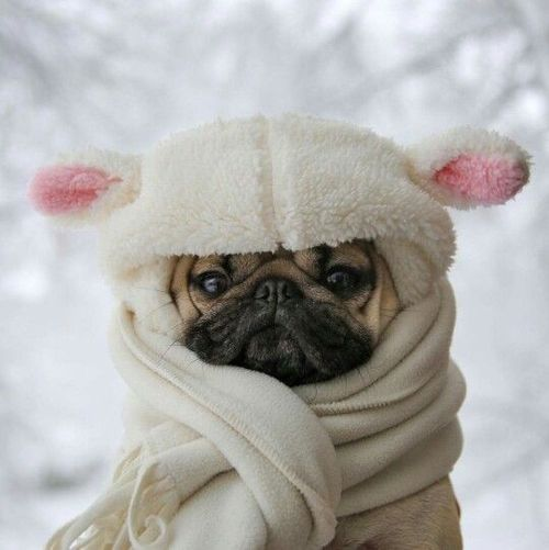 "Look at this cute little ""lamb"" all snuggled up against the cold."
