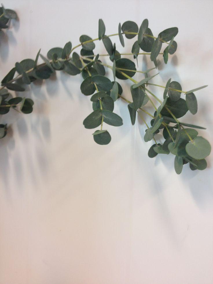 Eucalypthus - ... - Populus/poppel