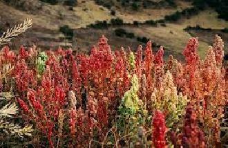 Puno: Producción de quinua en la presente campaña agrícola disminuyó en un 35%   Radio Onda Azul » Noticias Puno Perú