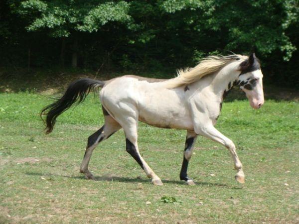 He's Ebony And Ivory - Black Overo Tennessee Walking Stallion