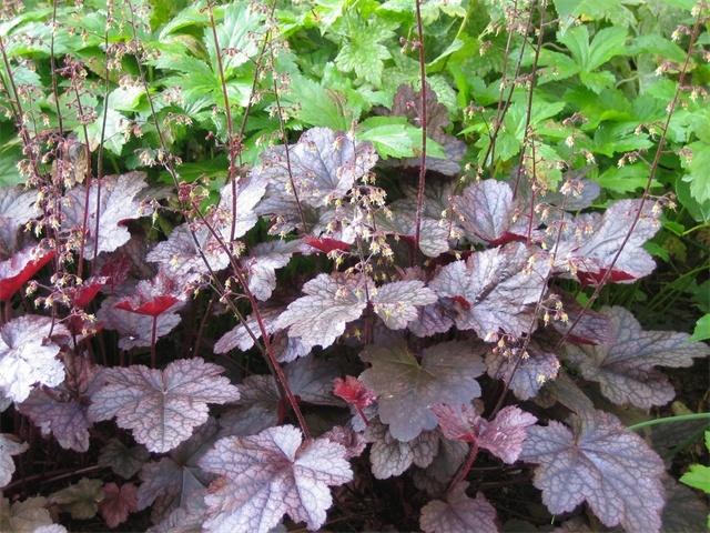 purperklokje, winter'groen', vaste plant, halfschaduw of zon