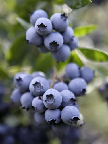 Blueberries are beautiful. Oh, and they taste good, too.