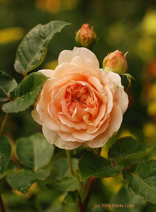 Rosa 'Evelyn' (discovered in U.K., 1918) One of the most beautiful rose scents! I'm not very fond of peach, and this picture doesn't do justice to the color, which is paler and more pink, but this will always have a place in my garden.