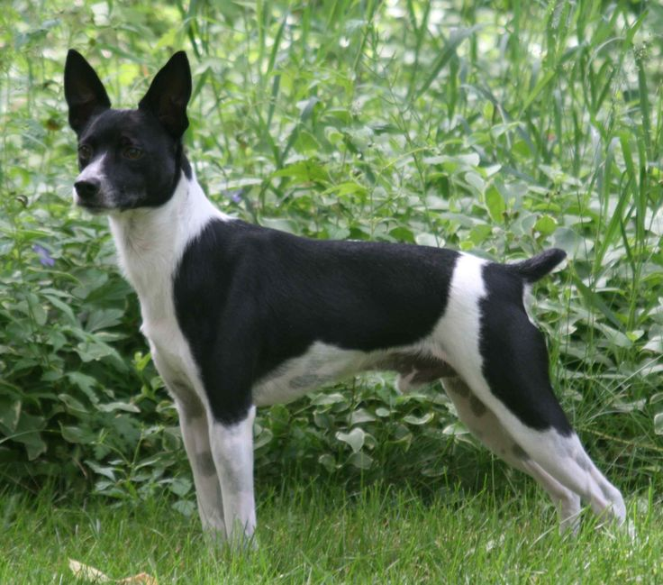 Rat Terrier Westminster Dog Show