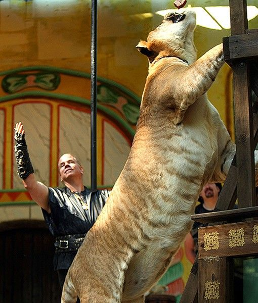17 Best images about Ligers on Pinterest | Hercules, A ...