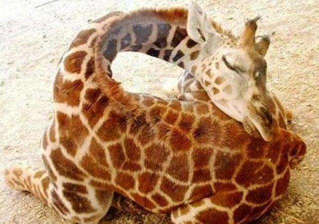 como-duermen-las-jirafas.jpg (640×450)