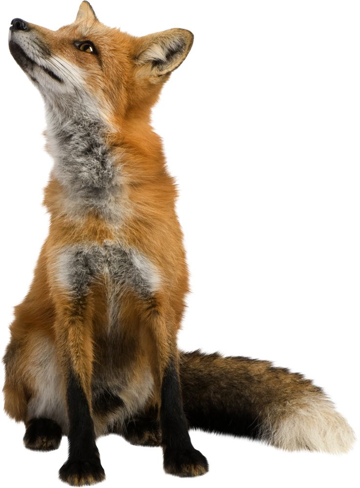 Isolated Photos of red fox | Search Keyword of red fox