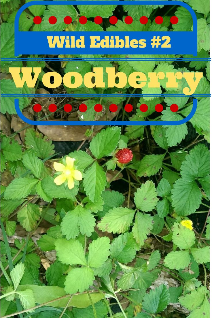 The Rural Economist: Wild Edibles #2 Wild Strawberry and Woodberry (blog with companion video)