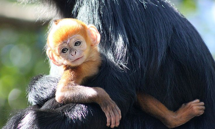 Male infant called Nangua, Mandarin for pumpkin, is fourth langur to be born at the zoo, the only one in the region to breed the endangered species