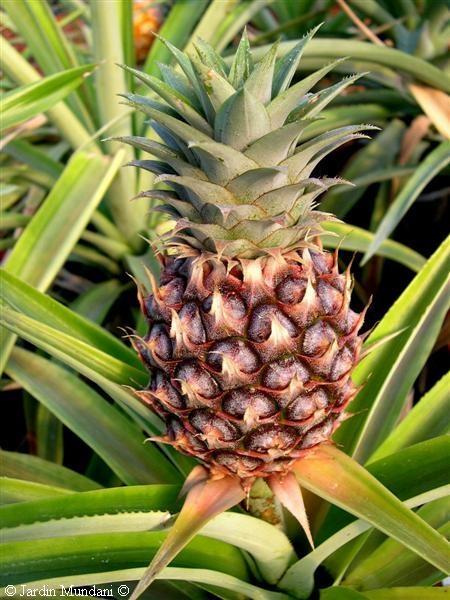 Profumo: ananas #bouquet #ananas
