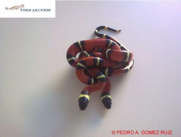 Sinaloa o falsa coral. Inofensivas y dóciles. En nuestra casa es  una #mascota más. http://www.vidasalvaje.net/