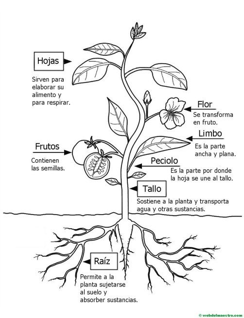 Partes de una planta para colorear