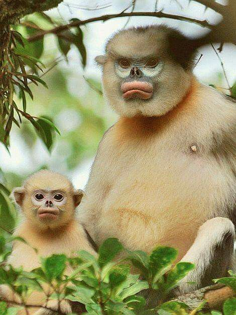 Rare Mom snub nosed monkey and her baby!!!