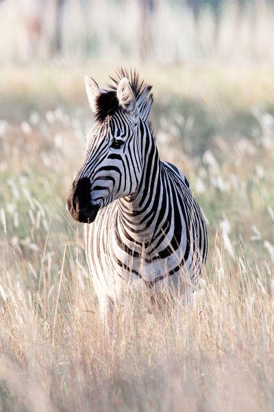 Beautiful Zebra