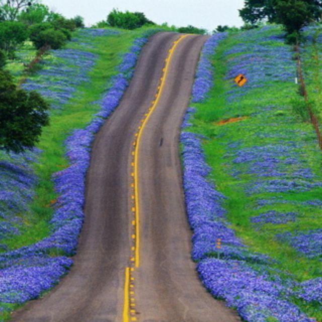 Bluebonnets on a Texas road