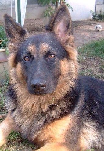 Sweet pretty long haired German shepherd pup                                                                                                                                                                                 More