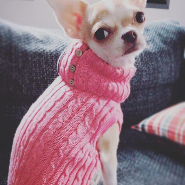 うちの愛犬ちゃんも冬バージョン🍂 #スムースコート#チワワ #winter #愛犬