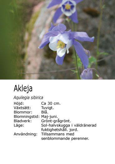 Akleja som passar bra tillsammans med mina andra blommor.