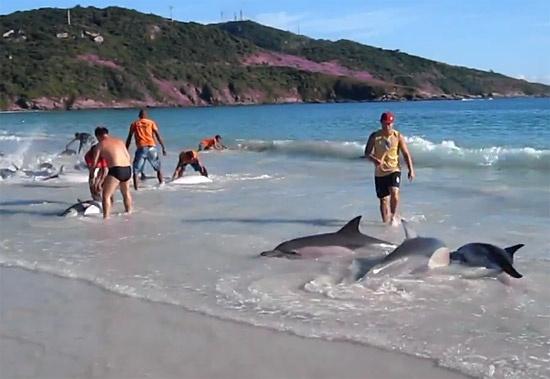 30 de delfini esuati pe plaja au fost ajutati sa revina in apa