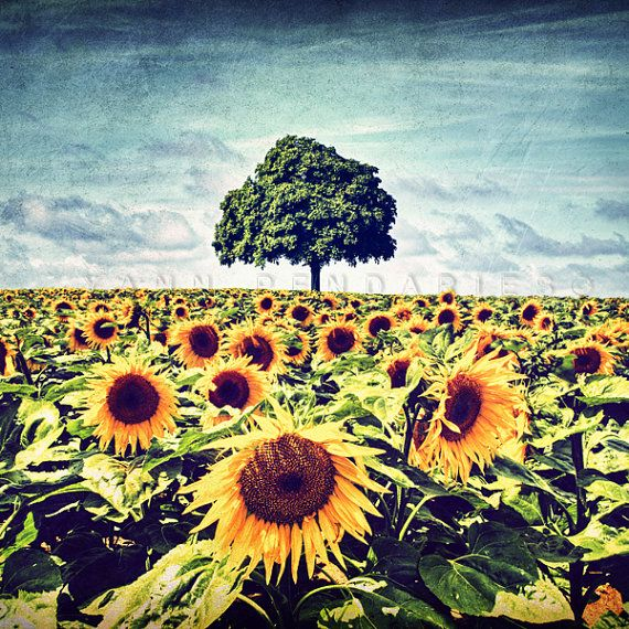 Nature photography Sunflower Photography by PhotographyDream, €19.50 #nature #photography