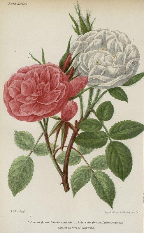 SNHF | [Roses]