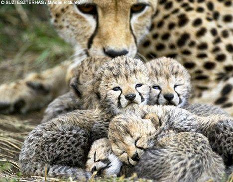 Baby Cheetahz