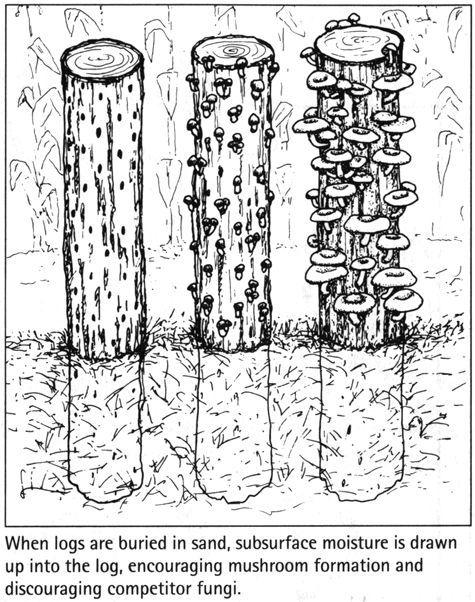 68 besten pilze ziehen champignon austernpilz shitake zucht bilder auf pinterest pilze. Black Bedroom Furniture Sets. Home Design Ideas