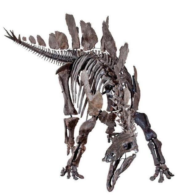 Amazingly Near Complete Stegosaurus Skeleton Will Be On Display At The Natural History Museum