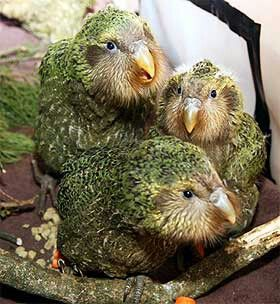 **Kakapo - One of the rarest birds of all is New Zealand's kakapo. which is flightless Only 124 animals remain in the wild—the species has been largely wiped out by introduced predatory mammals such as feral cats.