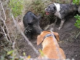 Image result for pig hunting dogs nz