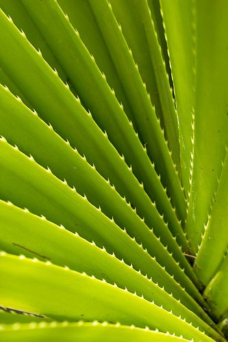 Juxtaposition between the succulent leaves and the thorns that protect them.
