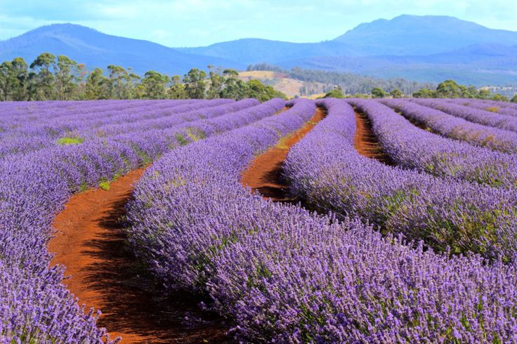 If you're visiting Tassie at the beginning of the year, be sure not to miss these impressive lavender fields in the North of Tasmania at Bridestowe Estate.