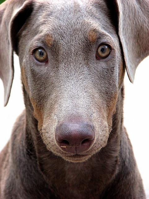 My photography - Supra our fawn colored doberman whe she was a puppy.