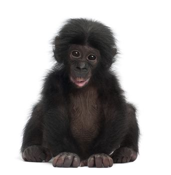 chimpanzee white background - Google Search