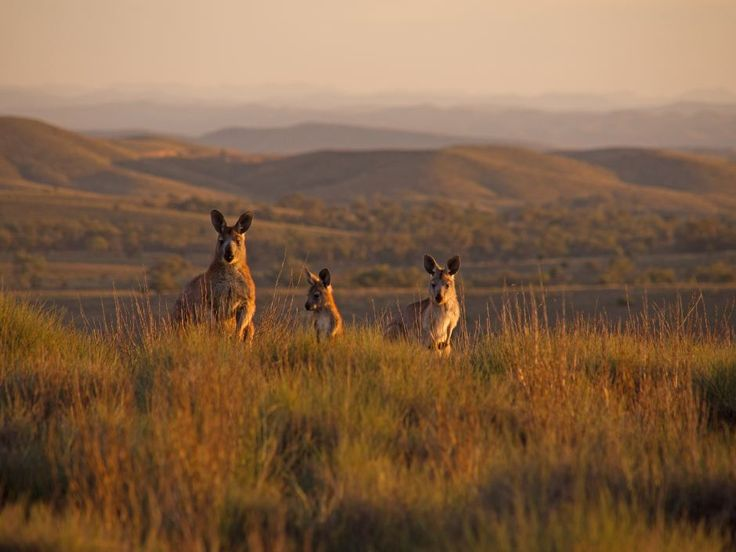 Kangaroos in the dawn light in the Flinders Ranges of outback South Australia