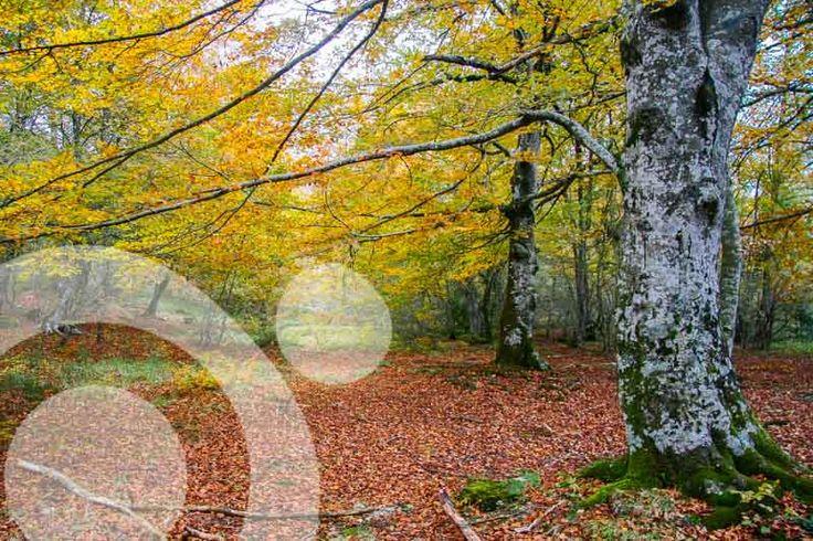 Beech forest in Monte Santiago. More info: http://www.qnatur.com/parque-natural/monte-santiago