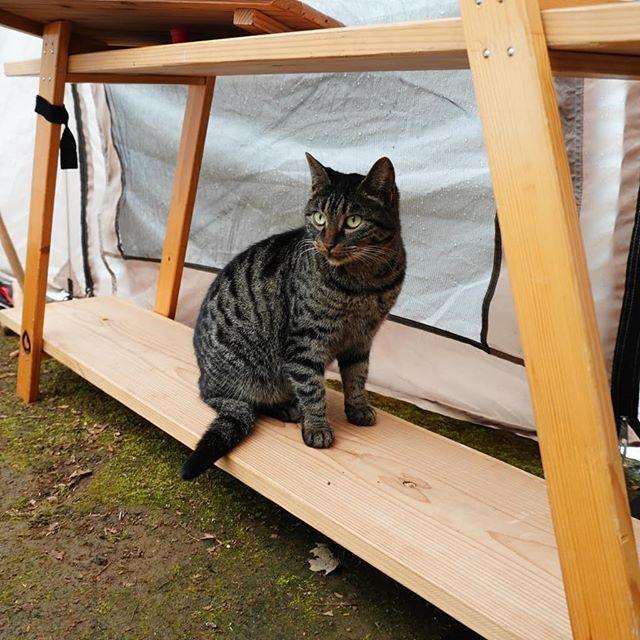 キャンプあるある 動物襲来 笑 我が家が雨撤収でバタついている中てくてくとテントに入ってきて雨宿り テント内を一周したと思ったら 木製ラックに乗る 泥のにゃんこ足跡を頂きました 可愛いから許しちゃう 笑 にゃたろうさん大物です 猫 cat 犬より猫派 ファミリー
