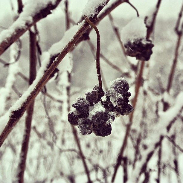 """@roncocalino's photo: """"Le vigne, l'uva, la neve. #franciacorta #vino #uva #neve #freddo #ghiaccio #vigneti #italia #lombardia #wine #grapes #snow #cold #ice #vineyards #vine #italy #lombardy #instaitalia"""""""