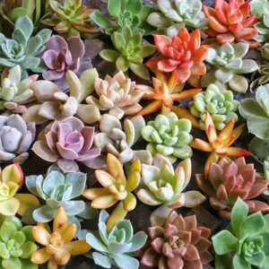 Assorted Rosette Succulent Cuttings Colorful Clippings Rare Echeveria Terrarium Wreath Wedding Favors Arrangements - Exotic Succulent Plants