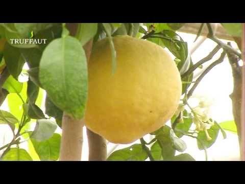 17 meilleures id es propos de kumquat fruit sur for Comment entretenir un citronnier