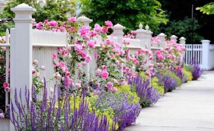 Вьющиеся розы украшают забор, который прекрасно гармонирует с ландшафтным дизайном участка.