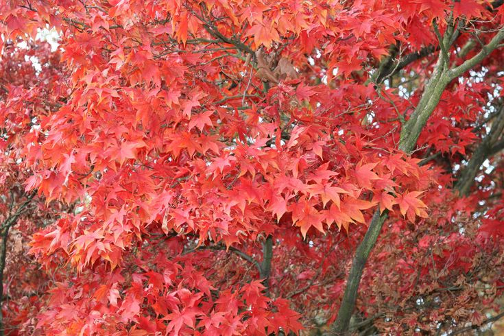 Der Fächerahorn (Acer palmatum) ist ohne Zweifel der beliebteste Zier-Ahorn für den Garten. Hier stellen wir Ihnen den eleganten Asiaten vor und geben Tipps zur Pflanzung und Pflege. #fächerahorn #zierahorn