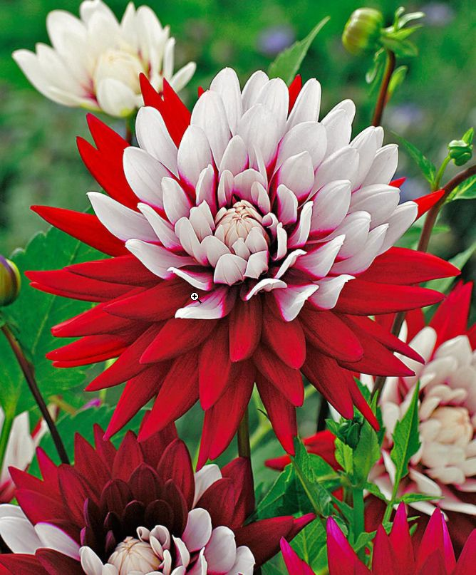 #dalie #rebeccasworld #summer #estate #flowers #fiori #red #rosso