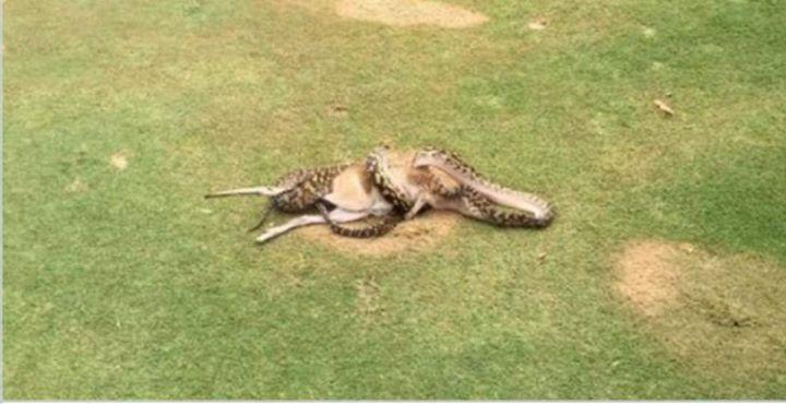 Schauspiel auf dem Golfplatz #Python verschlingt #Känguru Eine Golfpartie in Australien nimmt für die Spieler eine aufregende Wendung als ihnen eine Riesenschlange den Weg versperrt - in ihrem Maul steckt ein mittelgroßes #Känguru.  Da staunte Robert Willemse nicht schlecht. Der Golfspieler war gerade am 17. Loch des Golfplatzes Paradise Palms im nordostaustralischen Cairns angekommen als er und seine Golffreunde plötzlich mitbekamen wie eine Neuguinea-Amethystpython ein Wallaby verschlang…