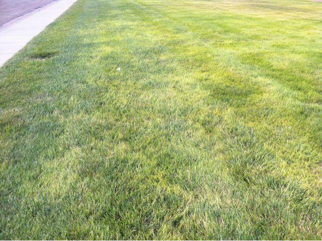 Iron Chlorosis 171 Ksu Turfgrass Blog Lawncare Lawn