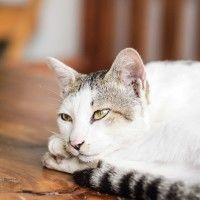 Malattie del gatto: la sindrome di Cushing